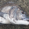 春の乗っ込み、60cmオーバーのチヌを釣るための場所選びのコツとは?